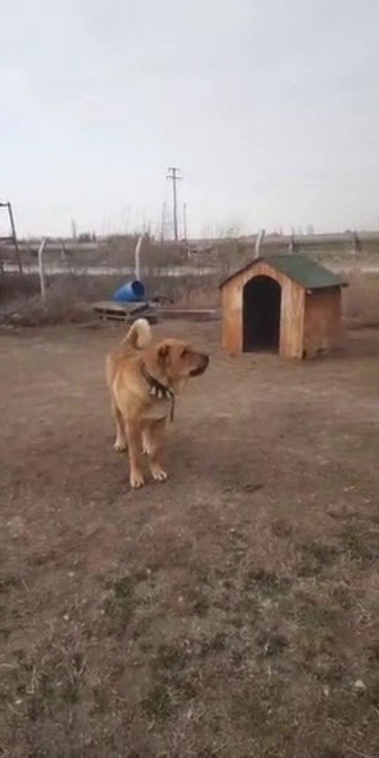 AMATOR CEKiM COBAN KOPEKLERi CiFTLiGi - ANATOLiAN SHEPHERD DOGS FARM