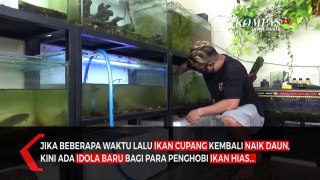 Ikan Predator Channa Idola Baru Penghobi Ikan Hias