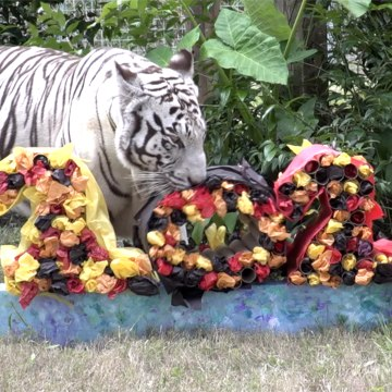 What Do The Big Cats Think Of The New Year?