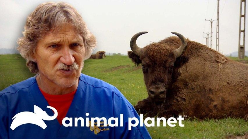 Al menos 10 hombres para tratar absceso en enorme bisonte | Dr. Jeff, Veterinario | Animal Planet