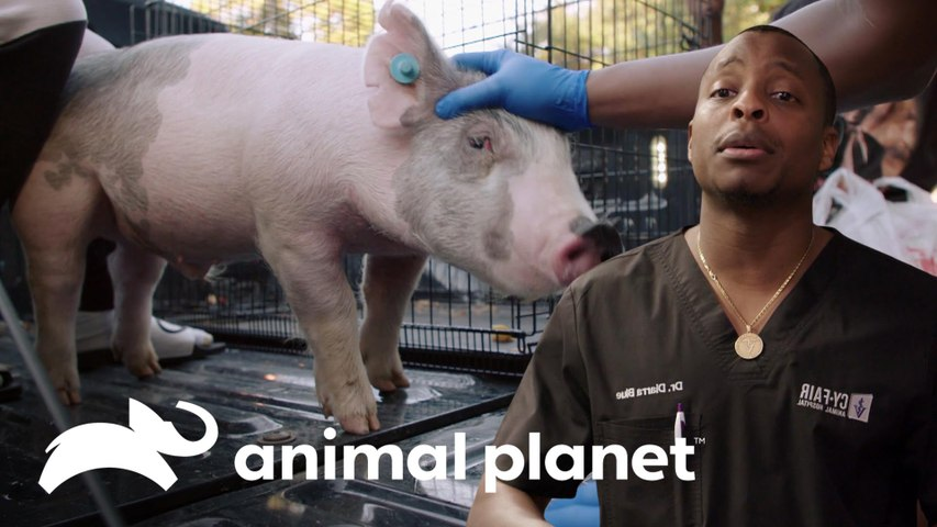 Porco recebe cuidados para diarreia e conjuntivite | Veterinários do Texas | Animal Planet Brasil