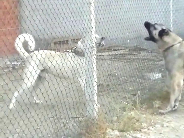KANGAL ile GEZiNTi ve AKBASLAR ATISMA - KANGAL DOG with WALK AKBASH DOG VS