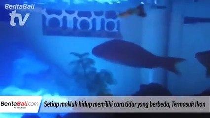 Mengintip Gaya Ikan Tidur