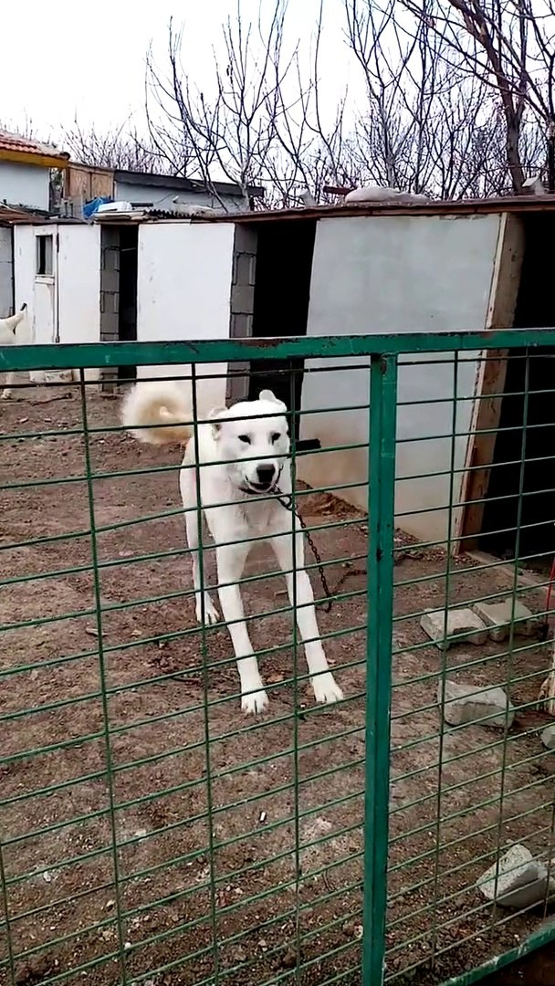 ADAMCI AKBAS COBAN KOPEGi BAHCEDE - ANGRY AKBASH SHEPHERD DOG