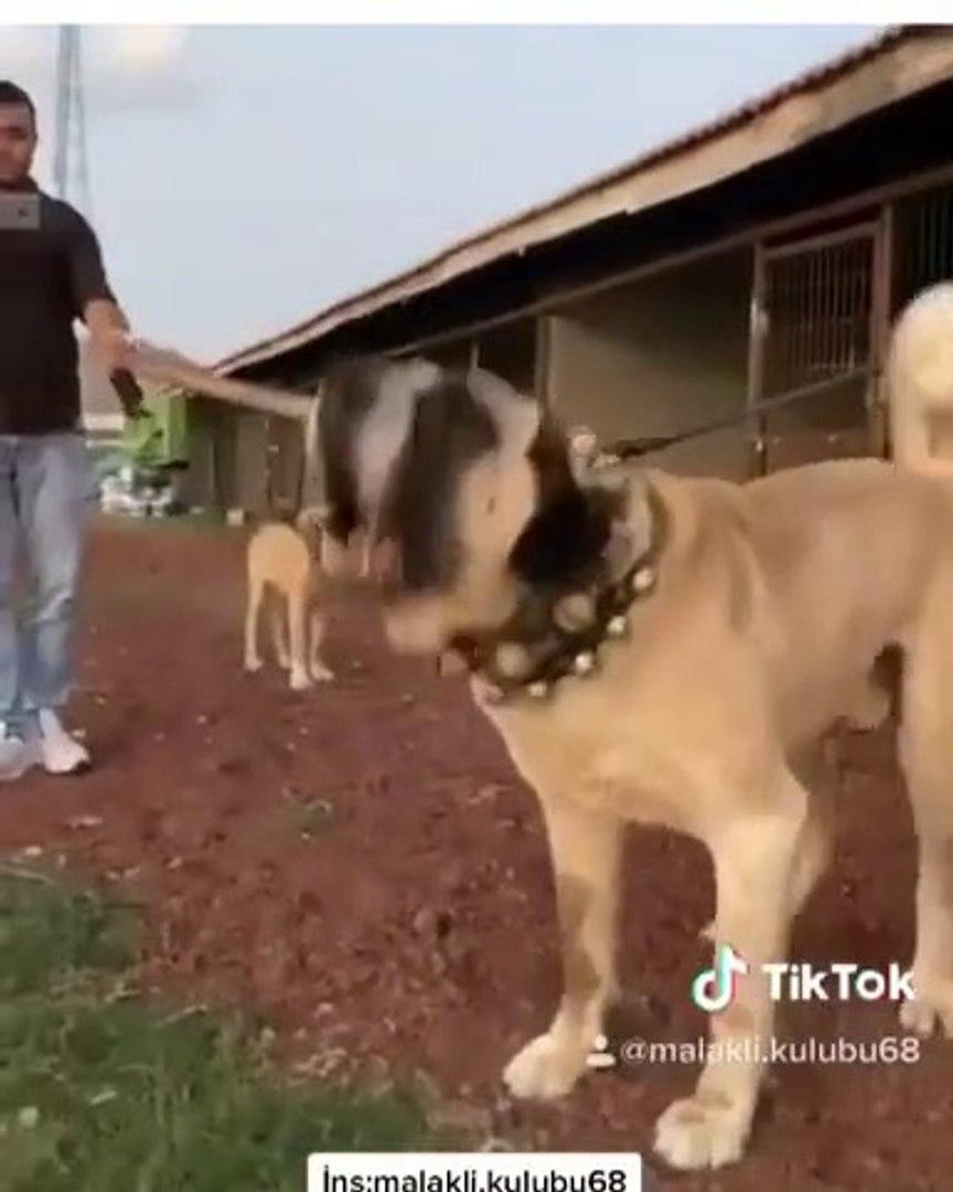 HEYECANLI ve SERi AKSARAY MALAKLISI - MALAKLI ANATOLiAN SHEPHERD DOG