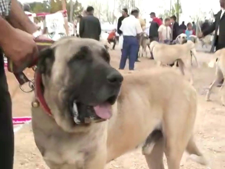 YARISMADA DEV MALAKLI COBAN KOPEGi - SHOW GiANT MALAKLI SHEPHERD DOG
