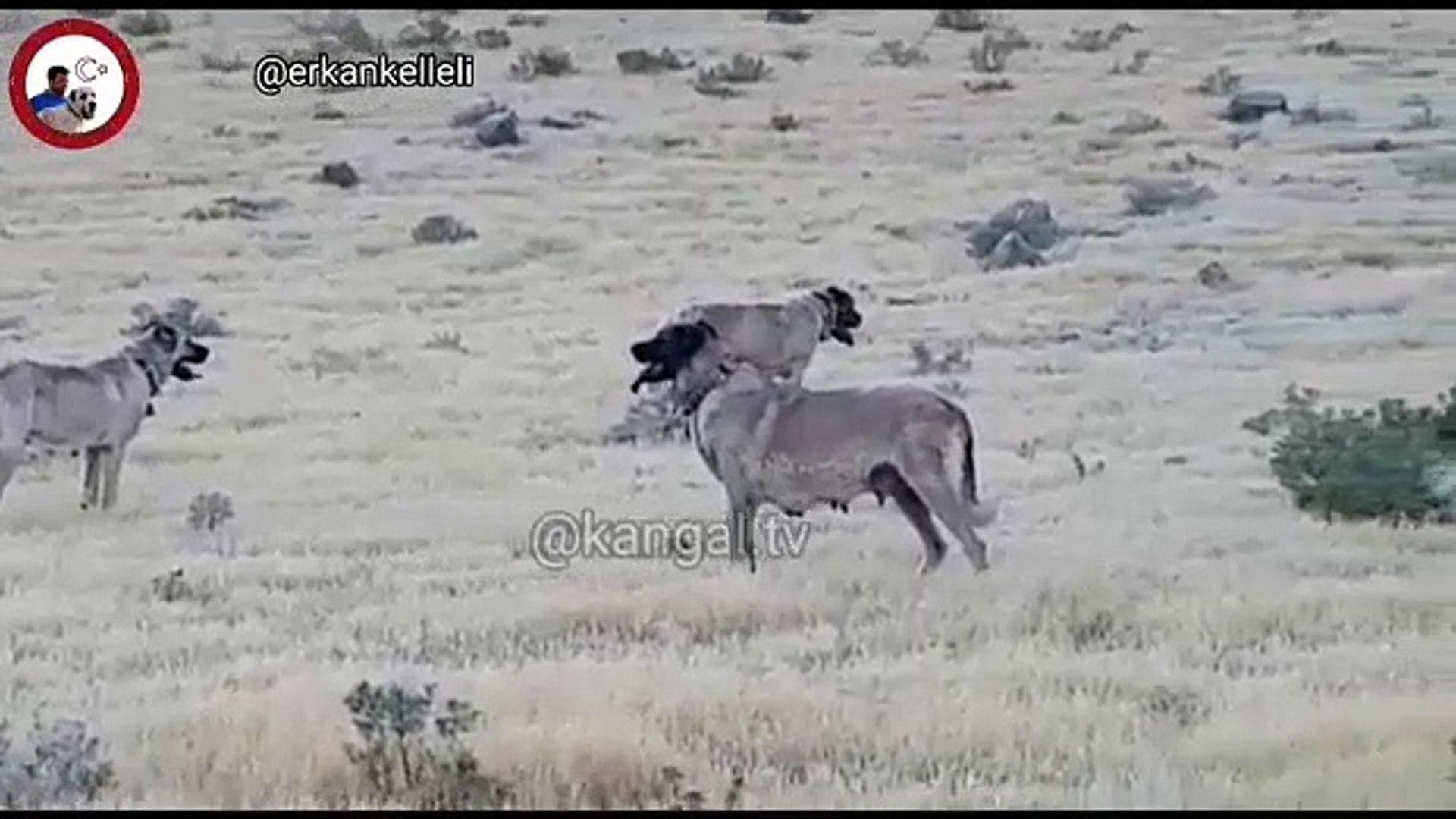 KANGAL KOPEKLERi MERA GOREVi - KANGAL SHEPHERD DOGS
