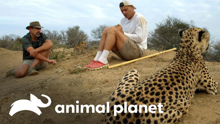 Frank e Darran se aproximam de guepardos e leões   Wild Frank vs Darran   Animal Planet Brasil