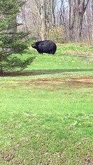 Giant Connecticut bear