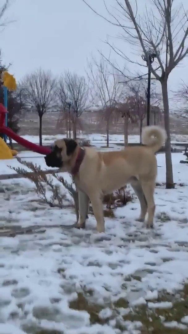 GENC MALAKLI COBAN KOPEGi - YOUNG MALAKLi SHEPHERD DOG