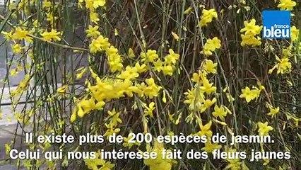 Roland Motte, jardinier : le jasmin d'hiver pour éclairer la grisaille