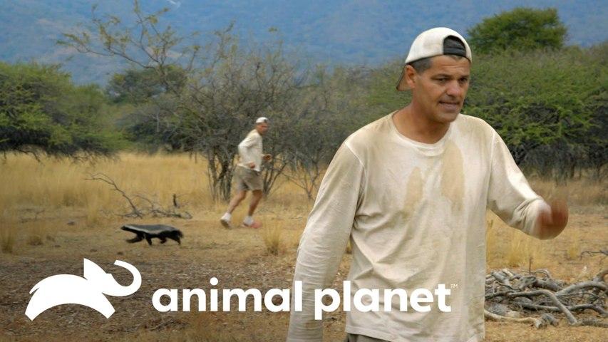Frank foge de um ratel, o texugo-do-mel   Wild Frank vs Darran   Animal Planet Brasil