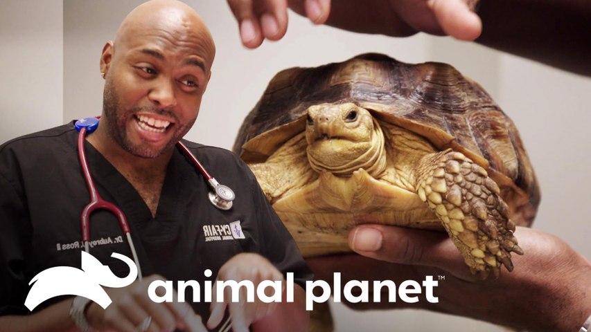 Tartaruga sai de perigo e descobrem o sexo dela | Veterinários do Texas | Animal Planet Brasil