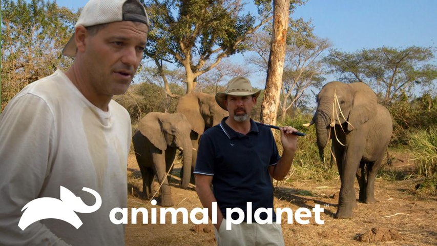 Jogo de golfe perto de hipopótamo e fuga de elefantes   Wild Frank vs Darran   Animal Planet Brasil