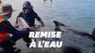 En Nouvelle-Zélande, opération d'ampleur pour sauver des dauphins échoués