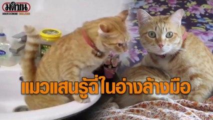 ถุงทอง แมวแสนรู้ ฉี่ในอ่างล้างมือ