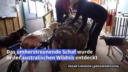 Haarig: Schaf in Australien hat 35-Kilo-Wollmantel