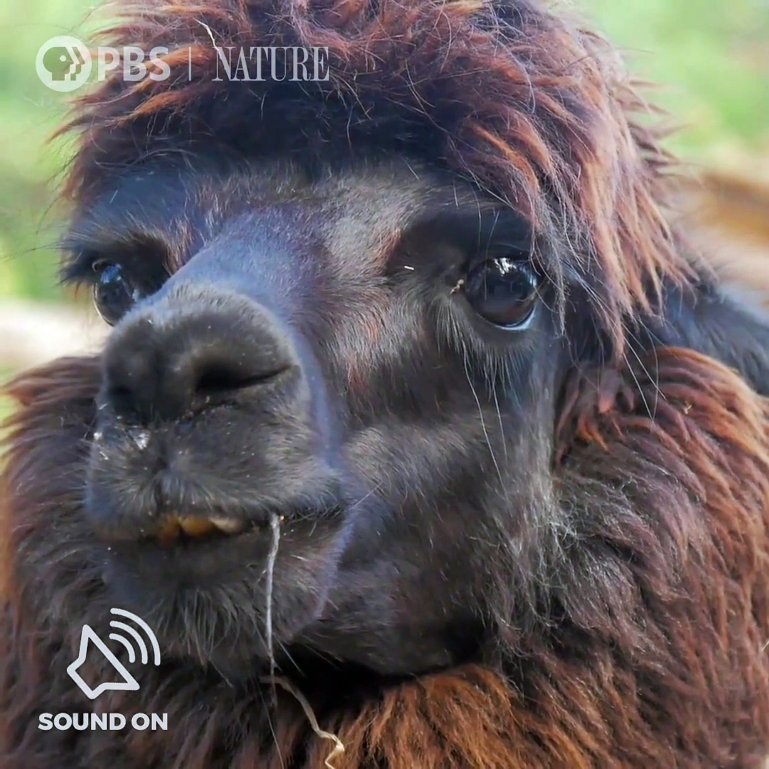 Happy National Llama Day! What do you love about llamas