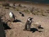 Pingouins à Peninsula Valdes, Argentine