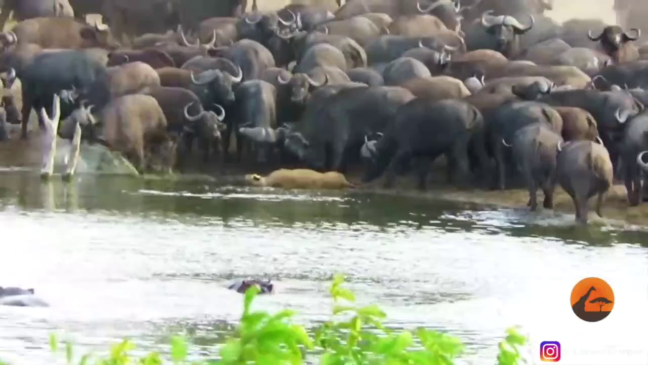 Buffaloes Kill  a Lion | Buffaloes Trample Lion | Buffaloes Crush a Lion Brutely | Soth Africa