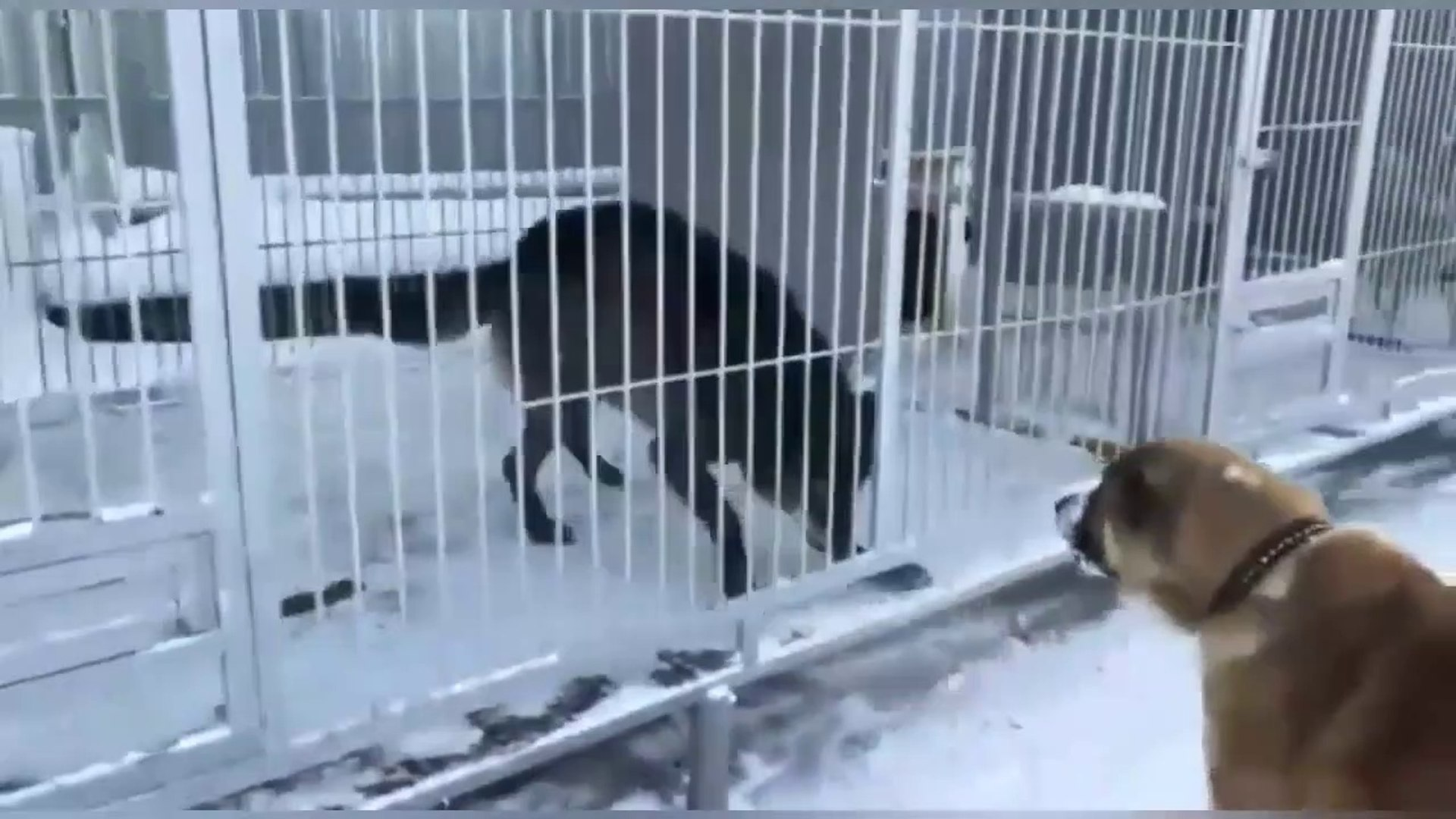 DOBERMAN, ALABAY KOPEKLERi VS KARAKURT - DOBERMAN, ALABAi DOGS VS BLACK WOLF