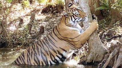 Tiger Playtime