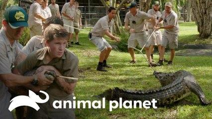 Intentan domar a cocodrilo enfurecido entre seis hombres | Los Irwin | Animal Planet