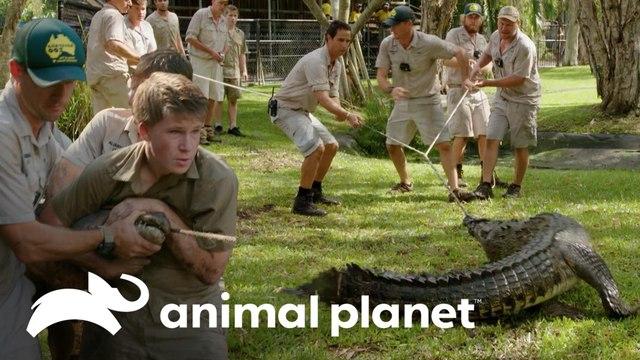 Intentan domar a cocodrilo enfurecido entre seis hombres   Los Irwin   Animal Planet