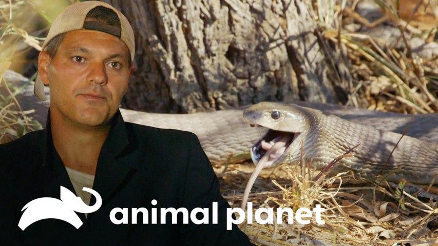 Mamba-negra devora um roedor diante de Fank e Darran   Wild Frank vs Darran   Animal Planet Brasil