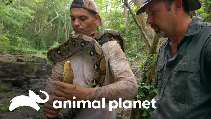 Píton-real reage rapidamente às provocações de Frank!   Wild Frank vs Darran   Animal Planet Brasil