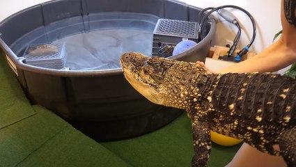 Rex The Alligator Gets A Room Makeover!