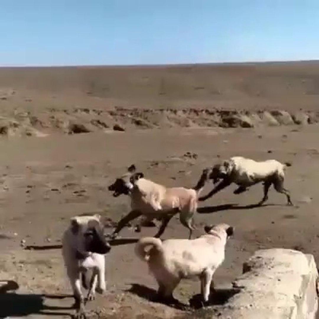 KANGAL KOPEKLERi COBAN KOPEKLERi MESAi ARASI MOLA - KANGAL SHEPHERD DOGS CUTE PLAY GAMES