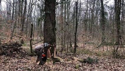 Quatre chênes de la forêt de Châteauroux abattus pour redonner vie à Notre-Dame-de-Paris