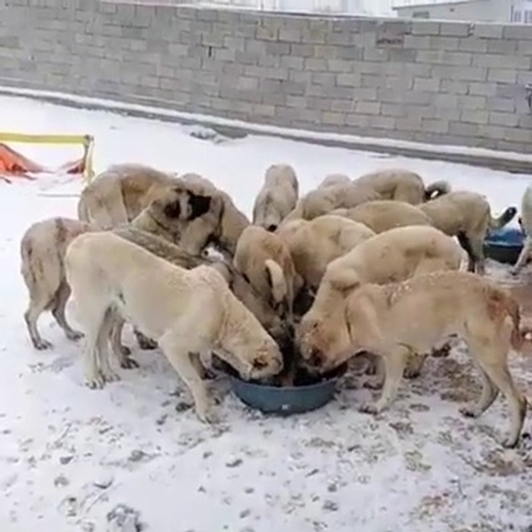 KANGAL KOPEKLERi SABAH KAHVALTISI - KANGAL SHEPHERD DOG BREAKFAST