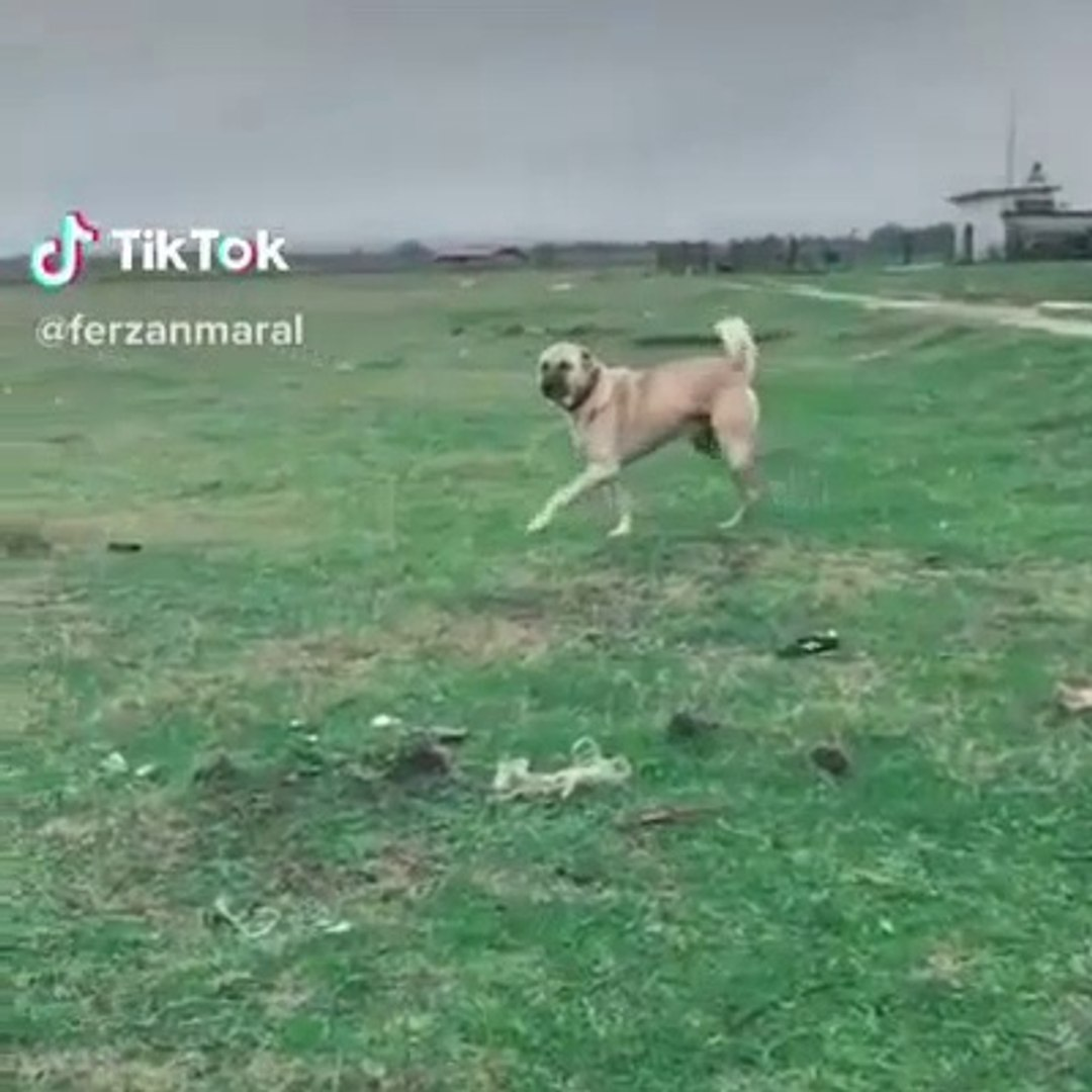 SiMiT KUYRUK DEV COBAN KOPEGi AGIR CEKiM - GiANT SHEPHERD DOG SLOW MOTiON