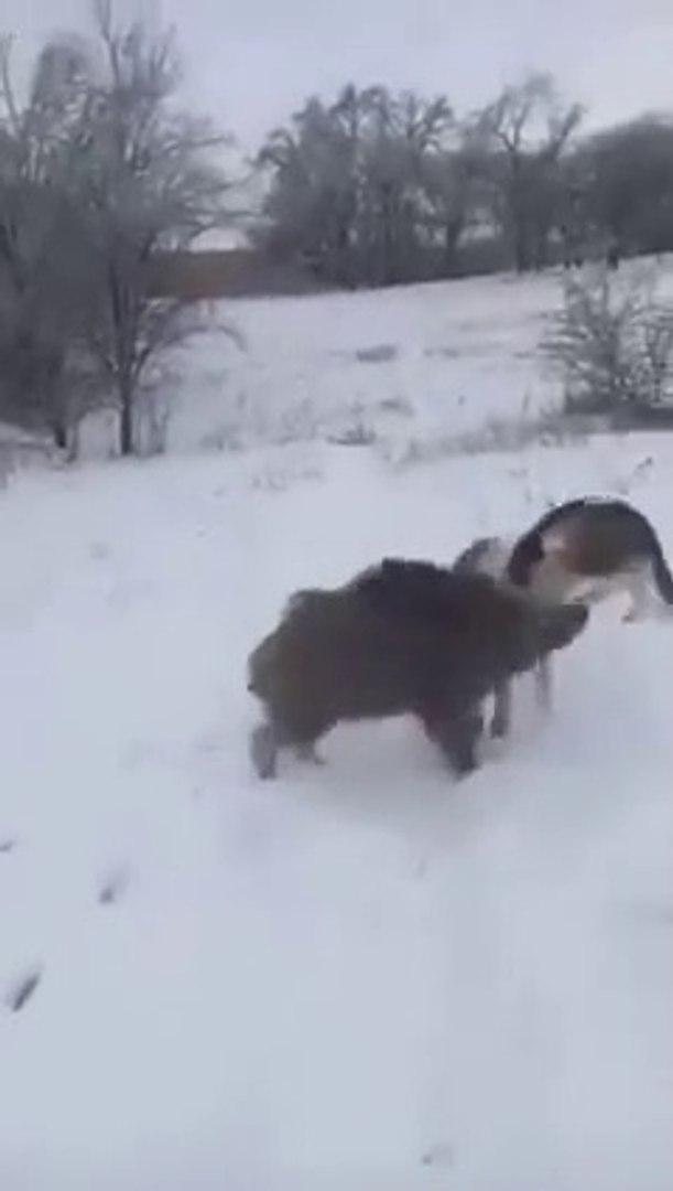 DOMUZ ve AV KOPEGi ARKADASLIGI - PiG and HUNTiNG DOG FRiENDS