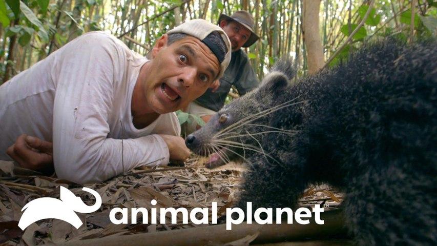 Darran vê um binturong e Frank se aproxima de serpente   Wild Frank vs Darran   Animal Planet Brasil