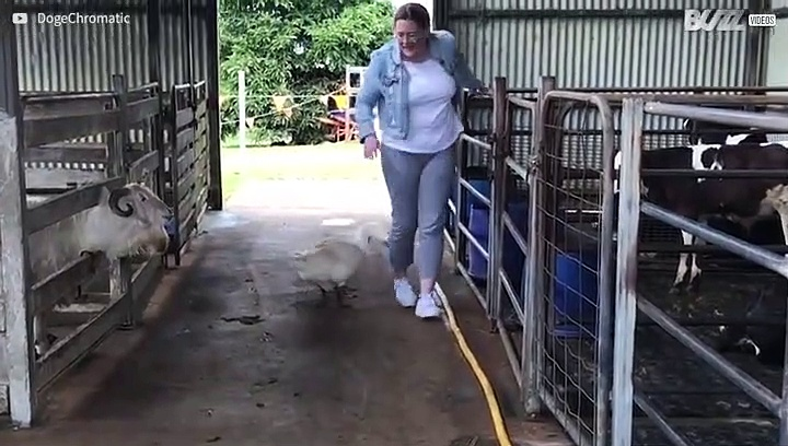 Geese attack woman in Australia