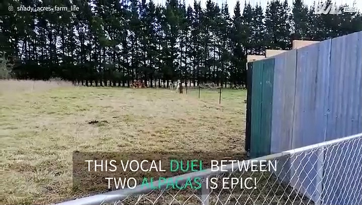 Alpacas sound each other out with epic vocal duel