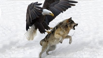 Most Spectacular EAGLES and Raptors Attacks! Eagle vs Wolf, Goat, Snake, Monkey, & other Animals