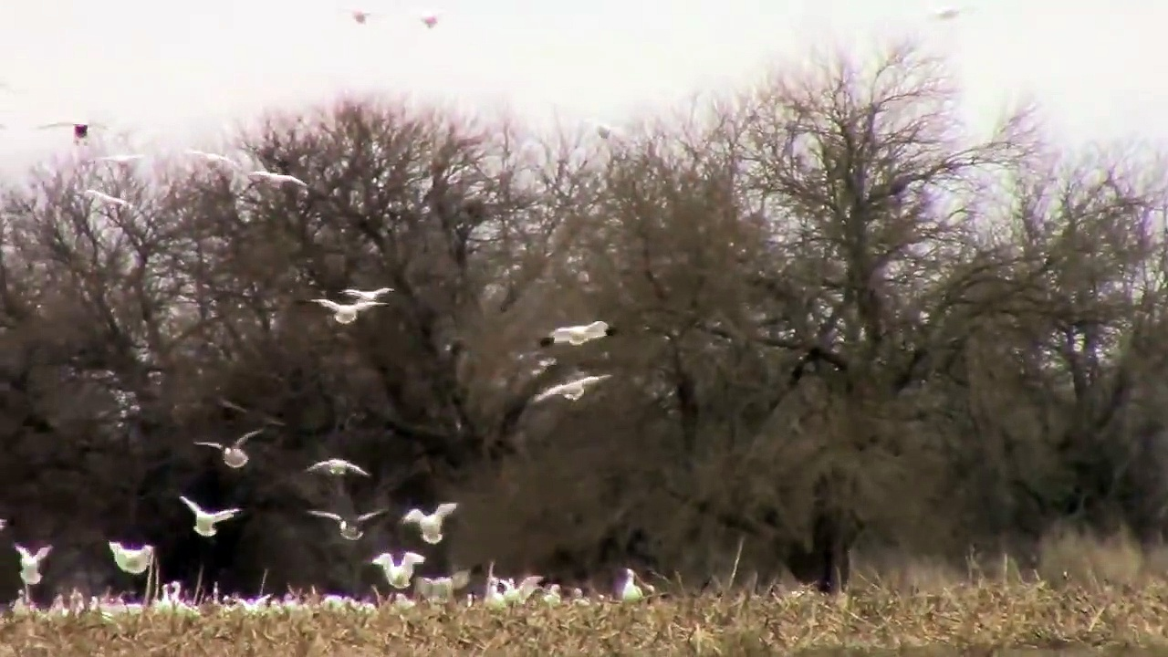 THOUSANDS of Snow Geese Come In For A Landing. MASSIVE FLOCK!!! AKA Light Geese.
