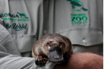 The World's First Platypus Sanctuary Will Open in Australia