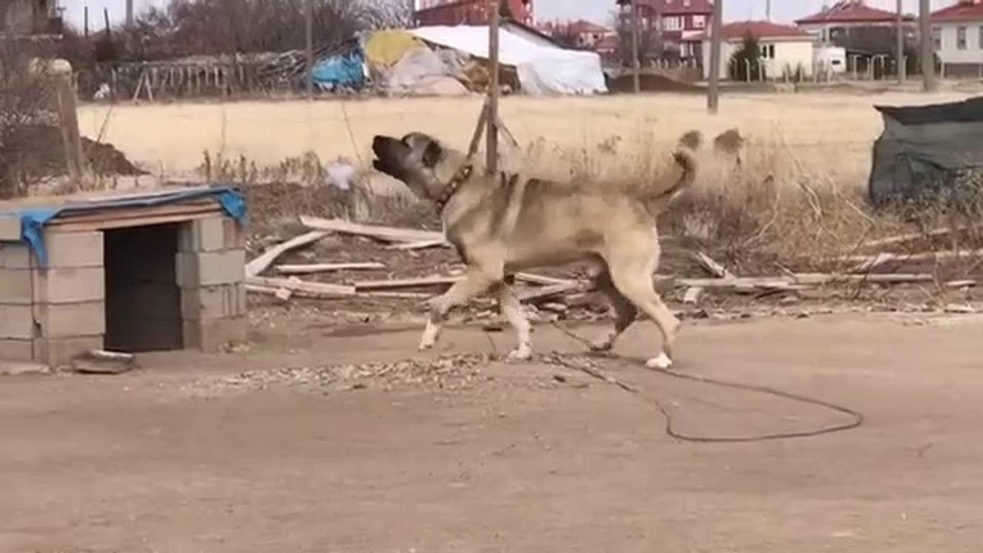 DEVLERDEN ADAMCI MALAKLI COBAN KOPEGi - GiANT MALAKLI SHEPHERD DOG