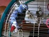 Bounty perroquet gris du gabon qui parle, compte...