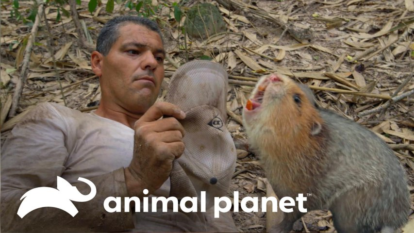 Frank encontra um roedor muito feroz   Wild Frank vs Darran   Animal Planet Brasil