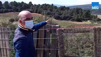 Opération capture de six brebis sauvages qui menacent les vignes d'Estagel