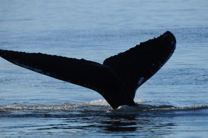 Northumberland humpback whale