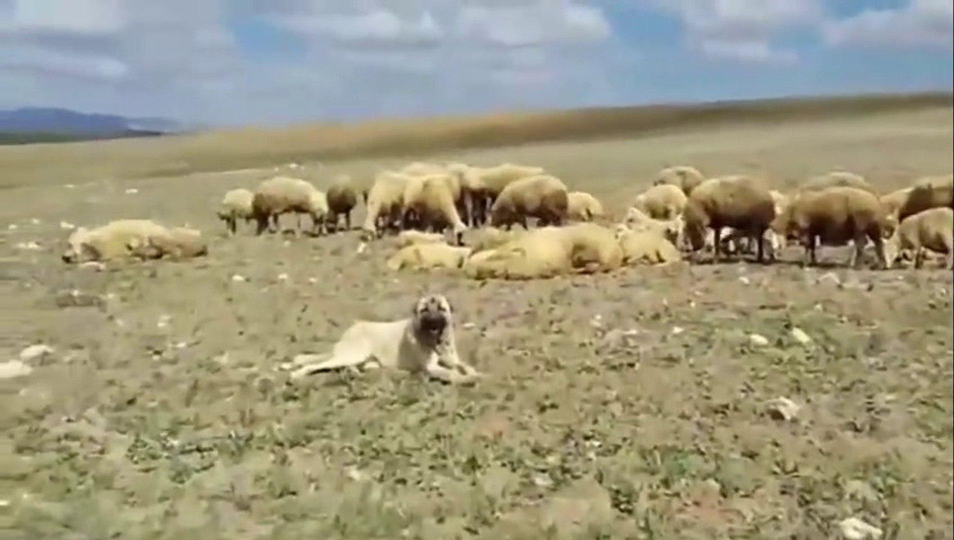 KANGAL KOPEKLERi KURDA KARSI KOYUN KORUMA - KANGAL SHEPHERD DOGS and SHEEPS