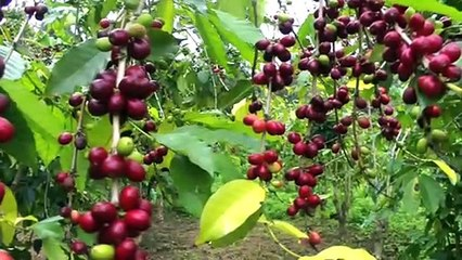 Make a Cup of Coffee Starting From Scratch - Coffea arabica - marvelouscoffee.com