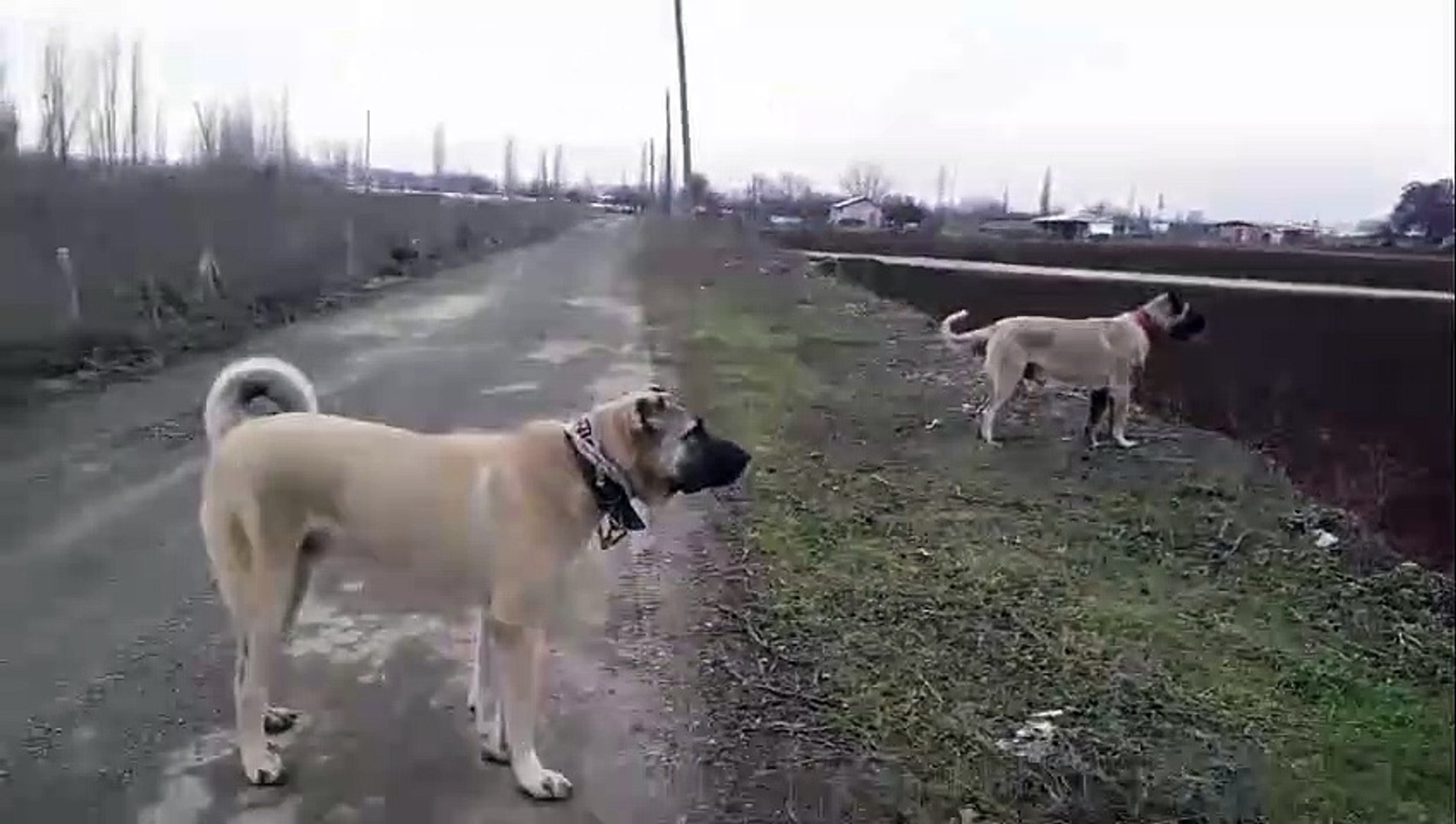 KANGALLAR ASLANLAR GiBi HEDEFE KOSUYOR - KANGAL SHEPHERD DOGS RUNS